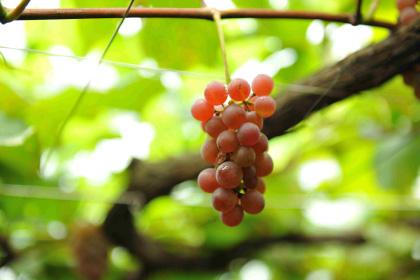 Wine Making - ワインづくり