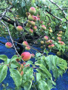 紅南高(べになんこう)実が赤いのは実は日焼けによるもの味は変わらないそうだが、見た目から重宝され3割高く売れるらしい